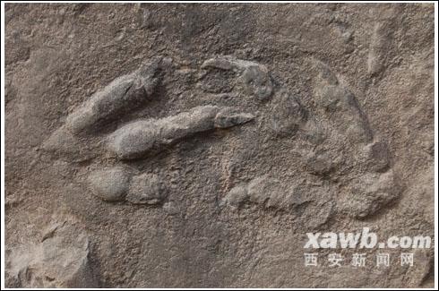 旬邑发现三趾恐龙脚印化石 有助研究鸟类起源