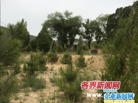 子长县林业局局长杨忠平在祖坟周边栽下千株珍稀树种