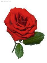 【小小说】 一枝掉色的玫瑰花